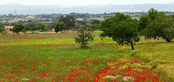 Campo mallorquin en primavera, un prado verde salpicado de flores rojas