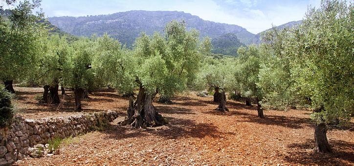 Plantación de ollivos en el campo mallorquín