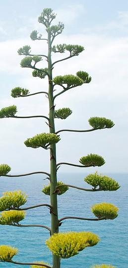 Pita florecida frente al horizonte marino